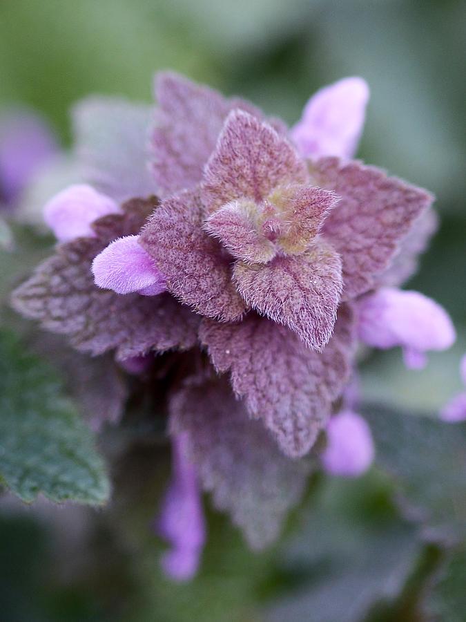 Flowers Photograph - Pink Velvet by Lisa Phillips