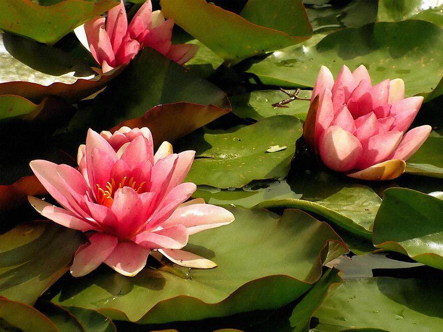 Pink Digital Art - Pink Water Lilies by Design Windmill