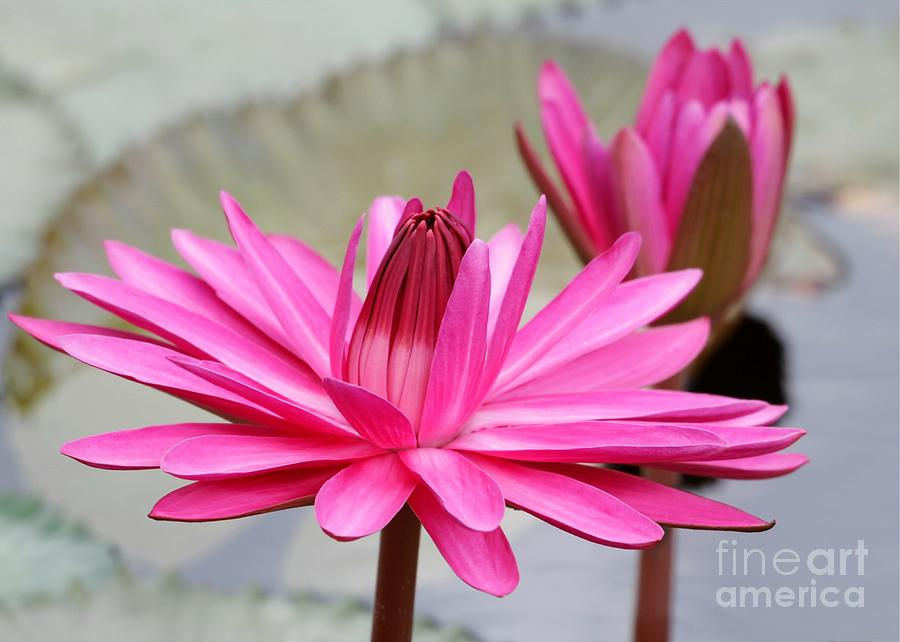 Lily Photograph - Pink Water Lily Duo by Sabrina L Ryan