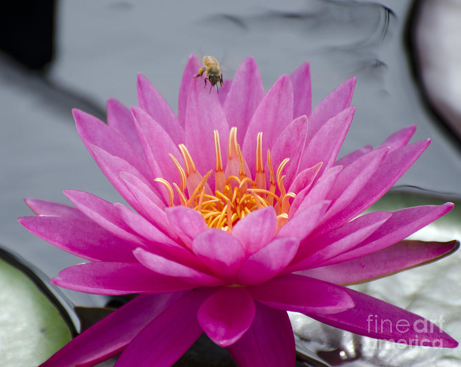 Flower Photograph - Pink Water Lily Rose Arey With Bee by Terri Winkler