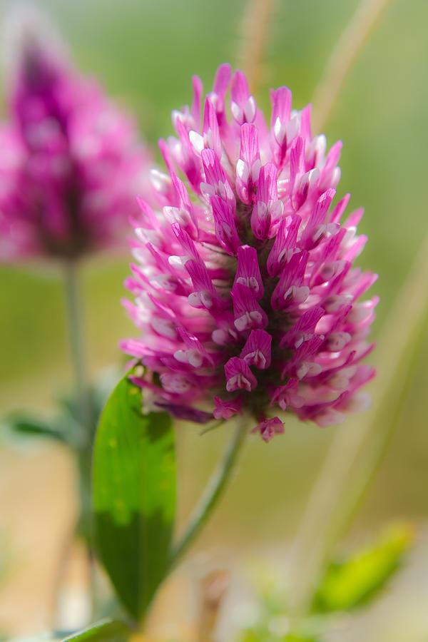 Barley Photograph - Pink wildflower by Michael Goyberg