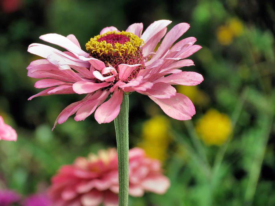 Flowers Photograph - Pink Zinnia by Janice Drew