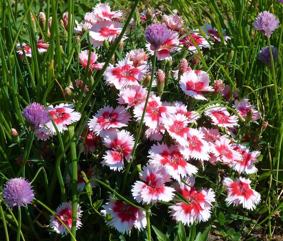 Flowers Photograph - Pinks In The Clover Grass by Jeanette Oberholtzer