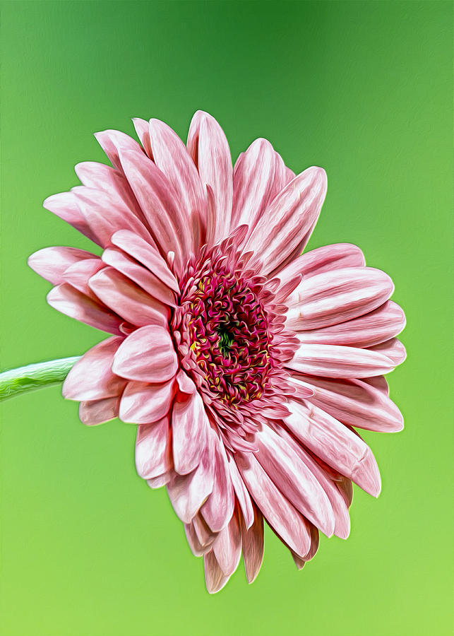 Daisy Photograph - Pinky On Lime by Bill Tiepelman