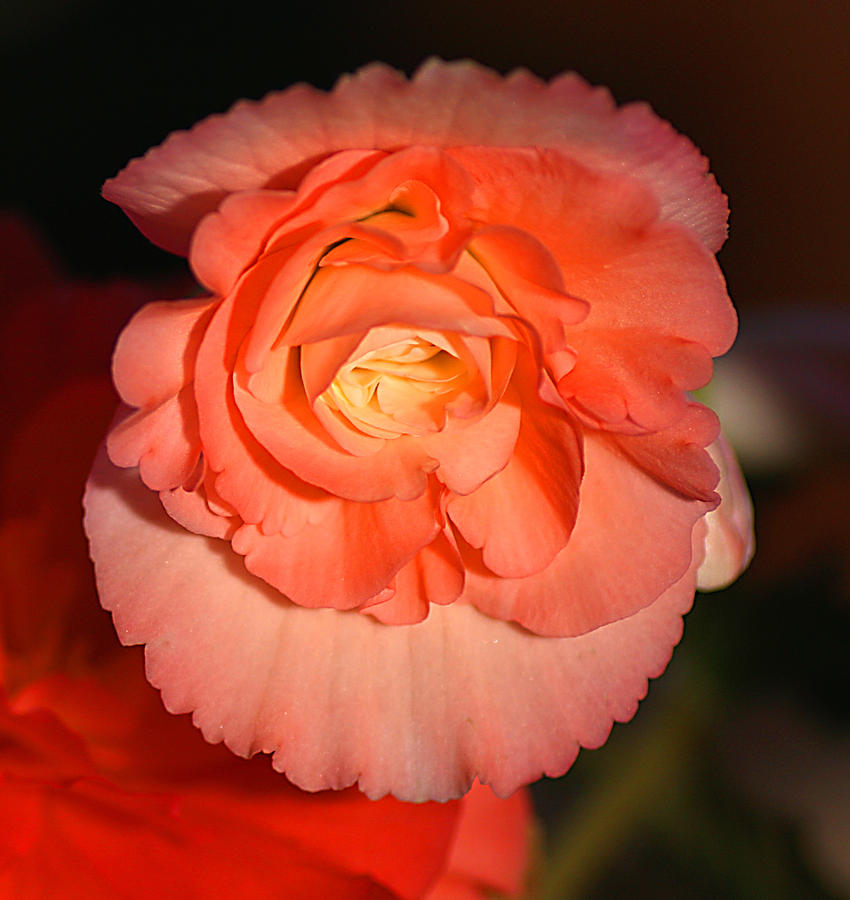 Pinky Photograph - Pinky Orange Tuberous Begonias by Carole-Anne Fooks