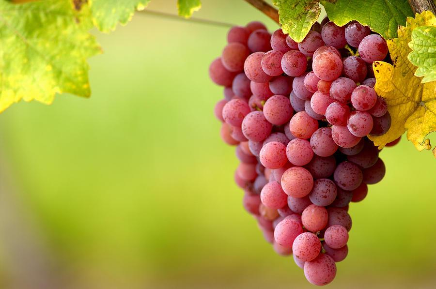 Vitis Vinifera Photograph - Pinot Noir Grapes by Jeremy Walker