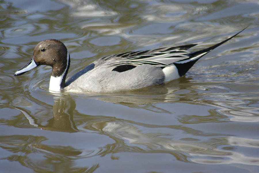 Pintail Photograph - Pintail Duck by Marilyn Wilson