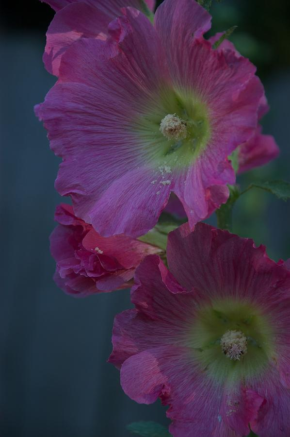 Flower Photograph - Piquant by Joseph Yarbrough