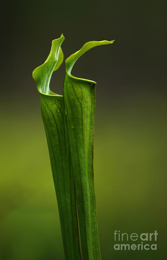 Pitcher Plants Photograph - Pitcher Plants 2 by Bob Christopher