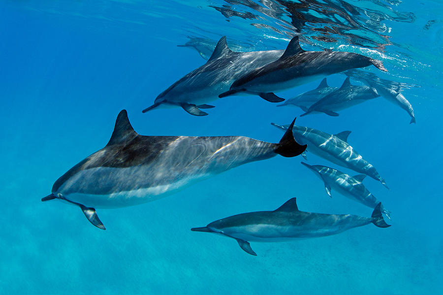 Playful Pod Of Dolphins Photograph By David Olsen