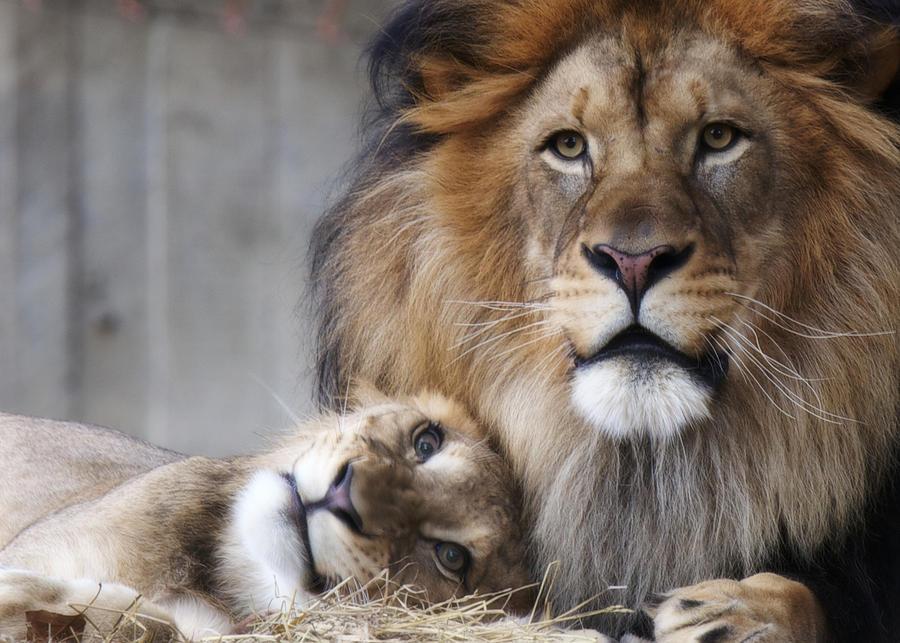 Lion Photograph - Pleaseeeee? by Daniel Sands