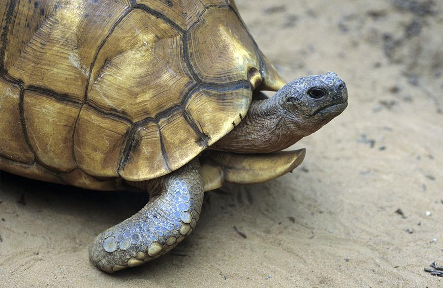 Animal Photograph - Ploughshare Tortoise by Chris Hellier