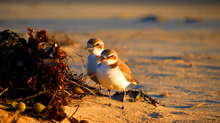 Plover Photograph - Plover Boys by Catherine Natalia  Roche