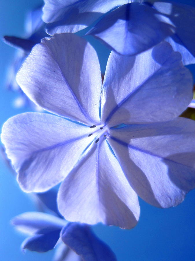 Photo Photograph - Plumbago Flowers by Catherine Natalia  Roche