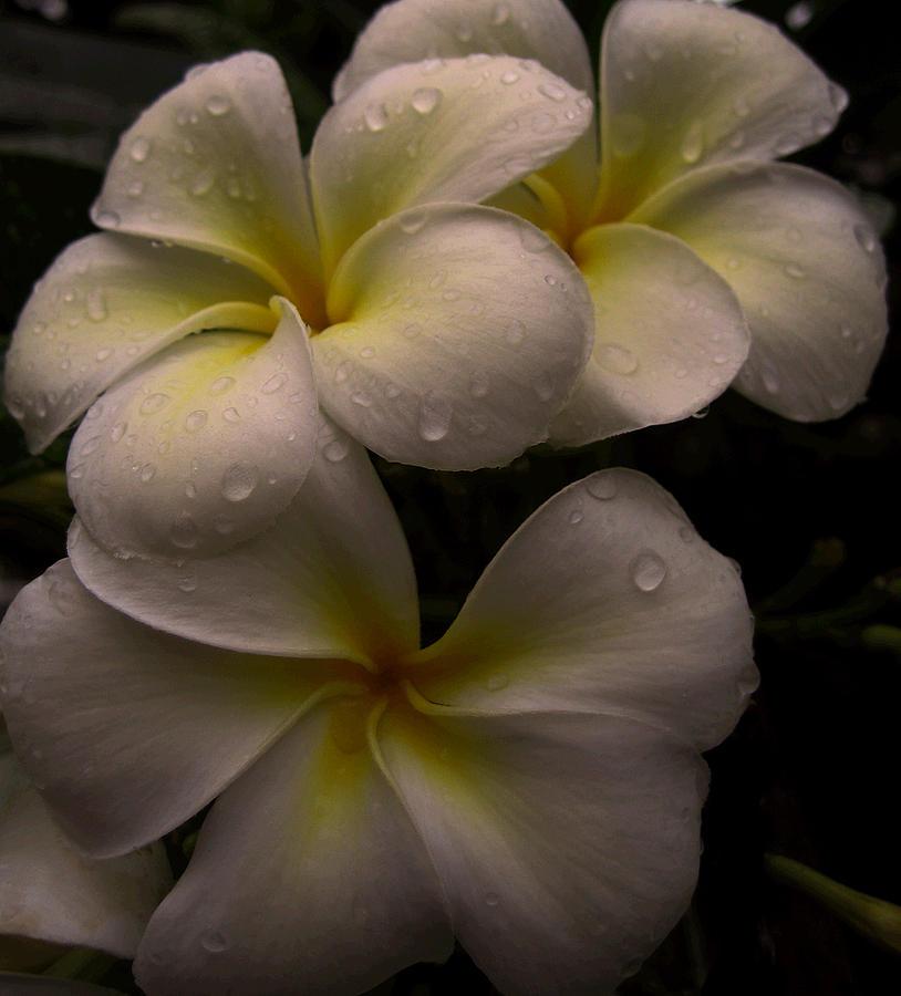 Plumeria Photograph - Plumeria by Dorothy Cunningham