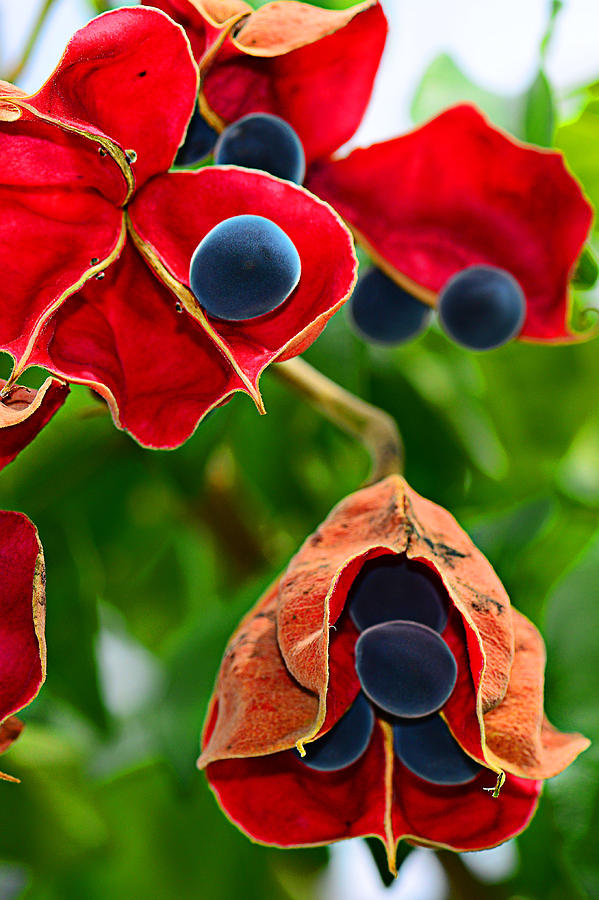 Red Photograph - Pods by Michelle Armstrong