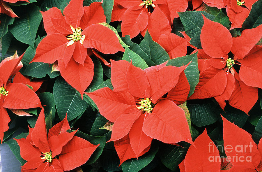 Poinsettia Photograph - Poinsettia Varieties by Science Source