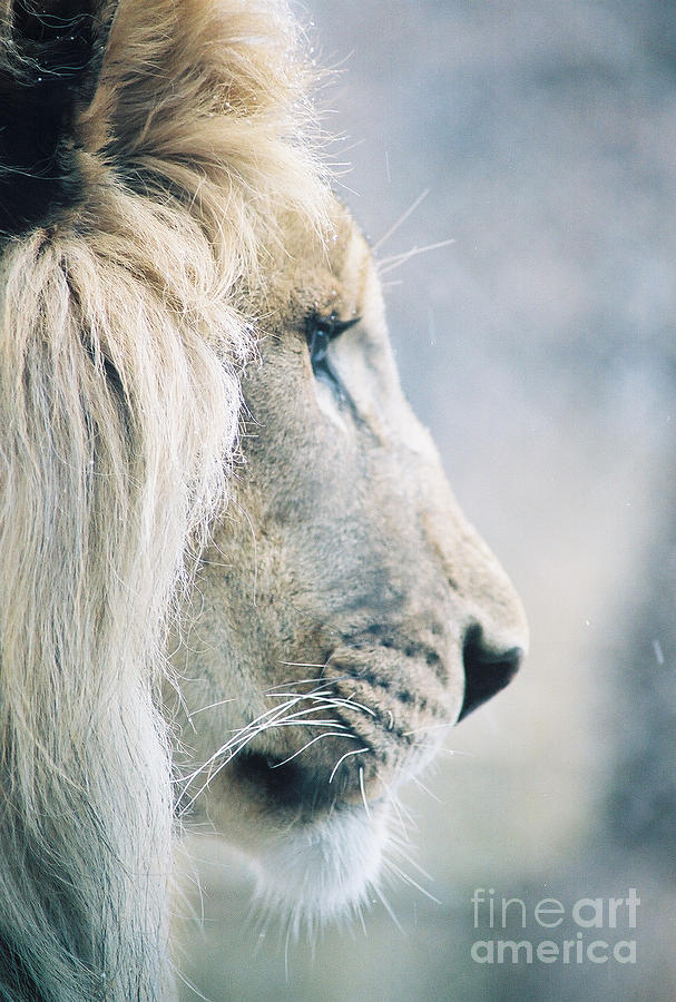 Lion Photograph - Poised by Christopher Griffin
