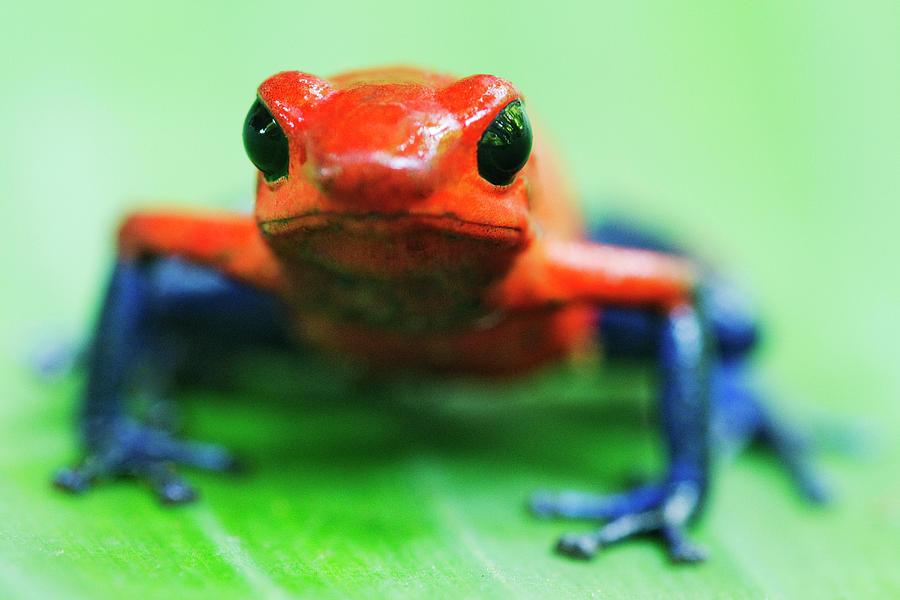 Horizontal Photograph - Poison Dart Frog by Jeremy Woodhouse