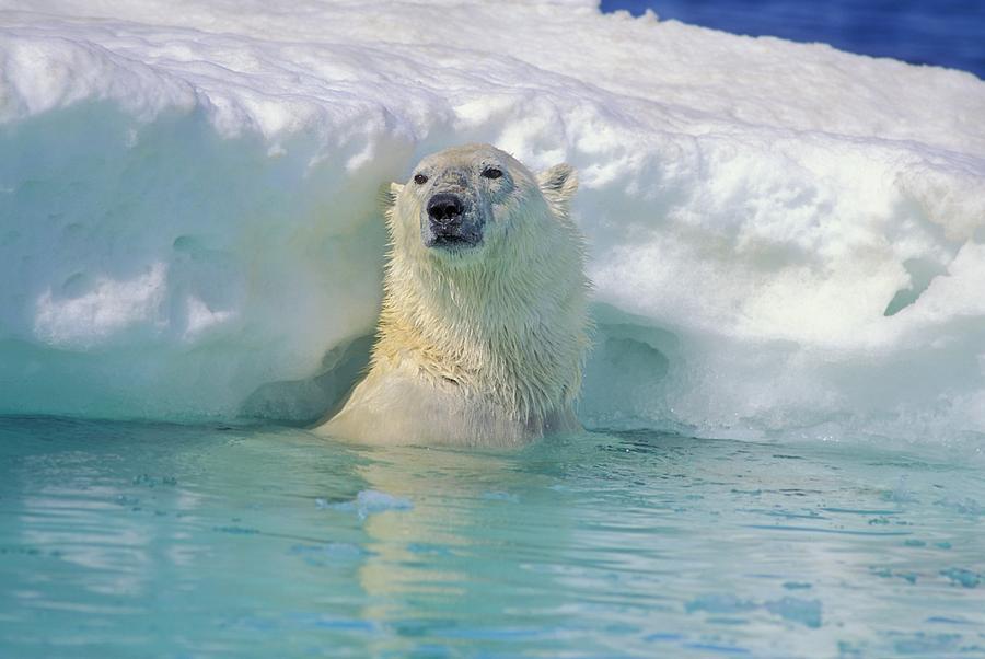 Polar Bear In Water Photograph By John Pitcher