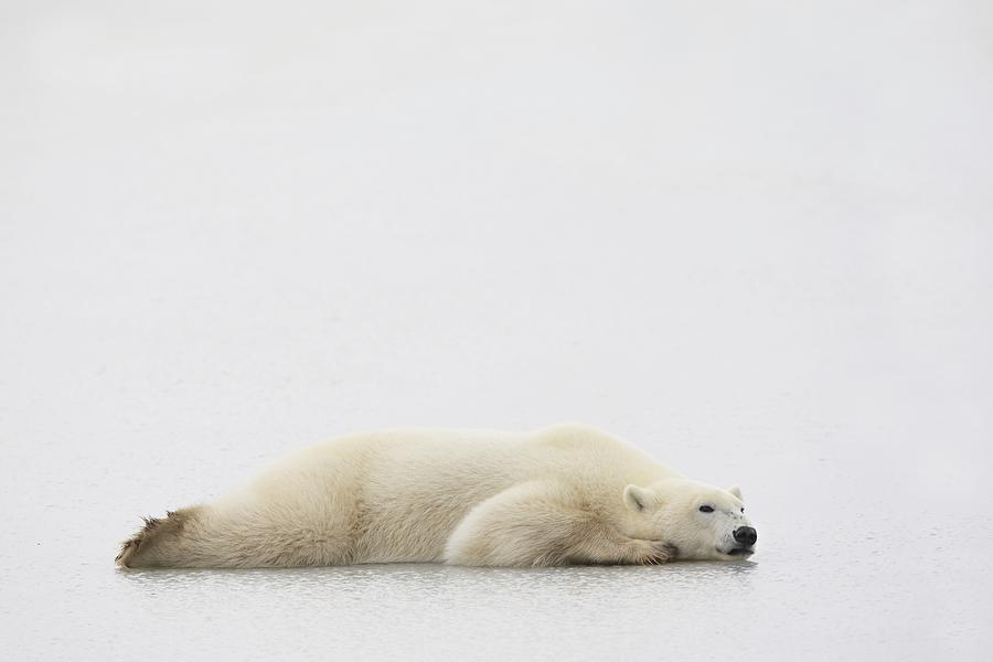 polar bear laying down photograph by richard wear
