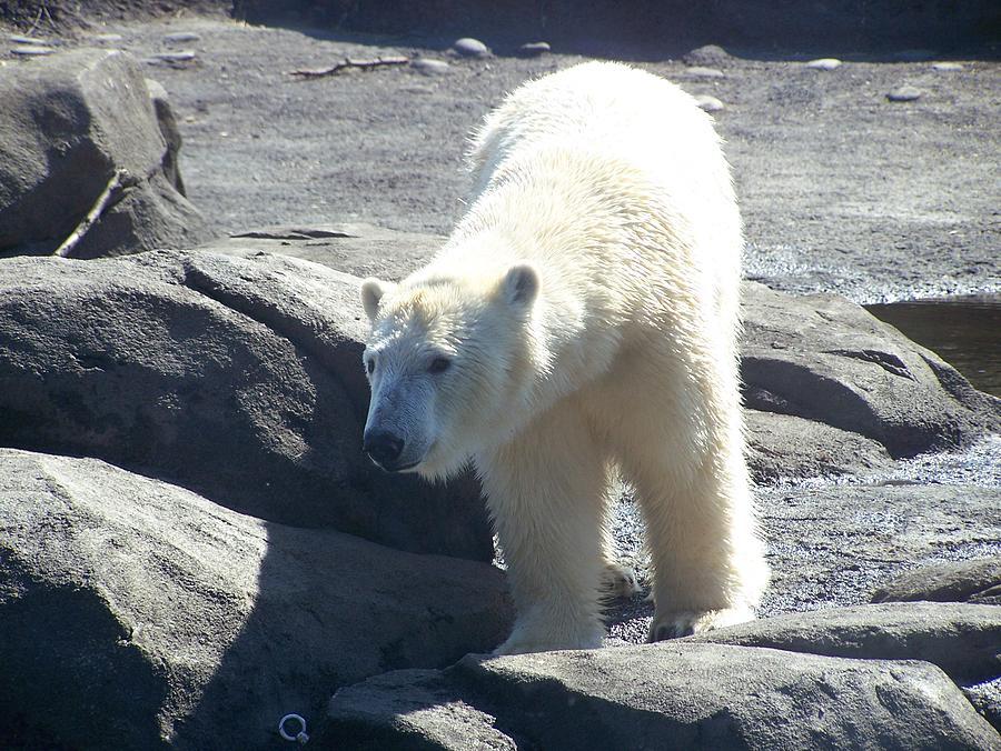 Photo Photograph - Polar Bear Looks by Geri Chamberlin