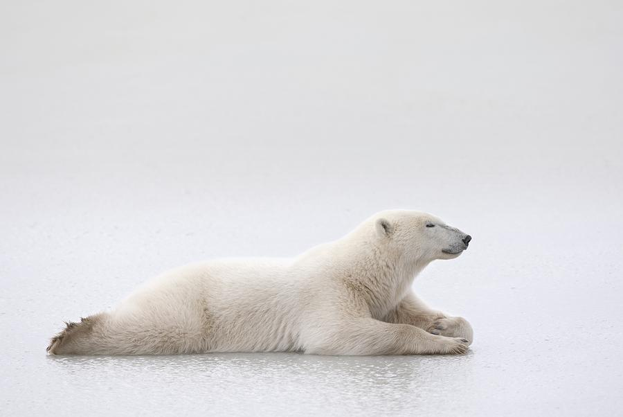 animals in the wild photograph polar bear ursus maritimus laying on a by richard wear