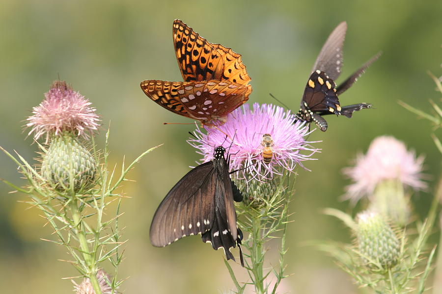 Butterflies Photograph - Pollen Party by Christopher Ewing