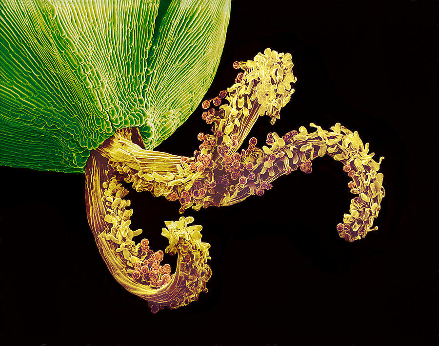 Sem Photograph - Pollinated Flower Pistil, Sem by Susumu Nishinaga