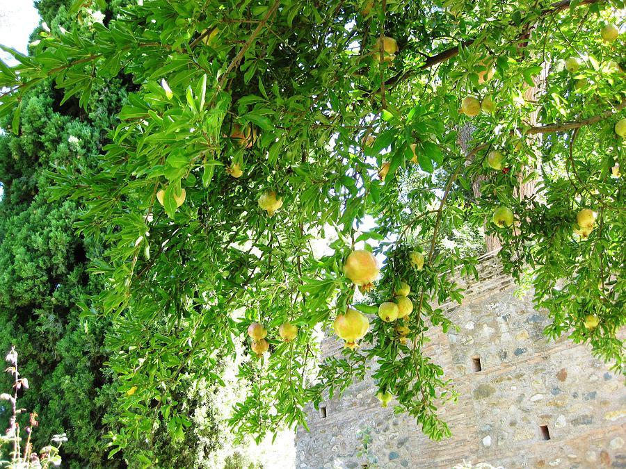 pomegranate fruit tree granada spain photograph by john shiron