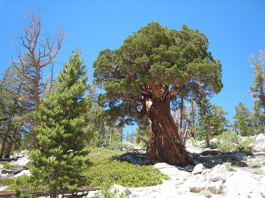 Mountains Photograph - Ponderosa Pine by Kirk Williams