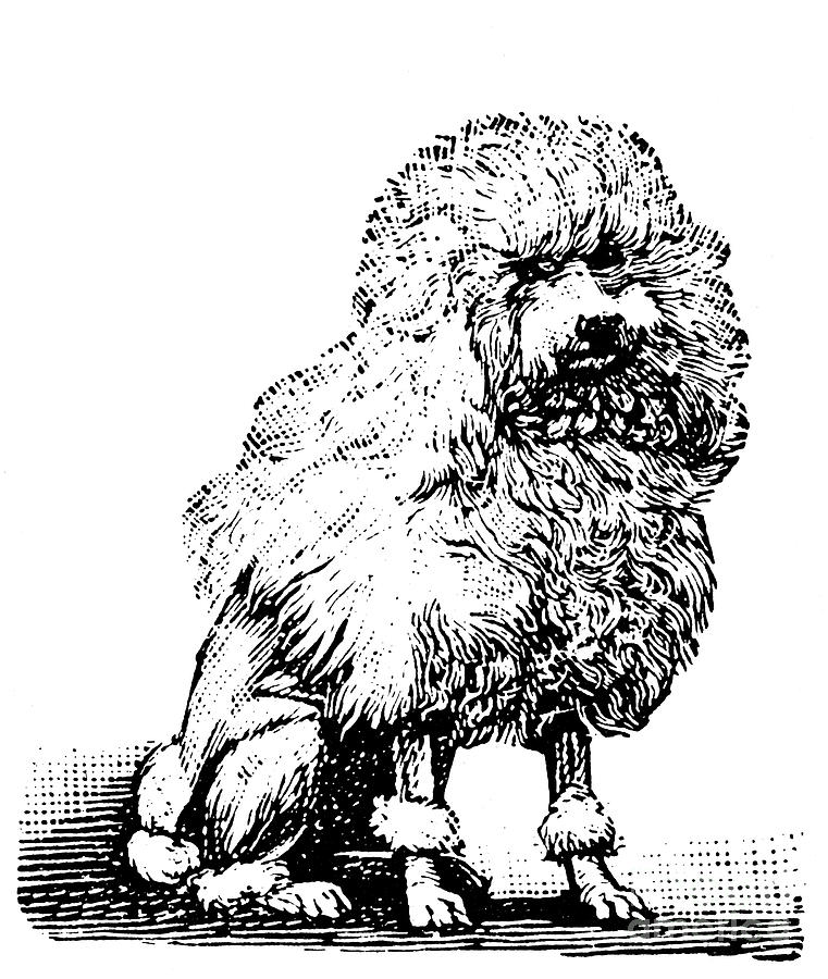 Biology Photograph - Poodle by Granger