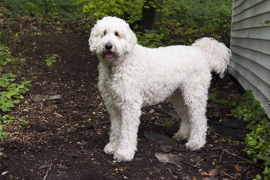 Poodle Mix Photograph By Sally Weigand