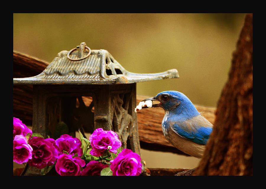 Bluejay Photograph - Popcorn At Birdhouse Cafe by Susanne Still