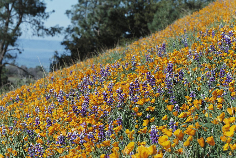 North America Photograph - Poppies And Lupine Flowers Blanket by Marc Moritsch