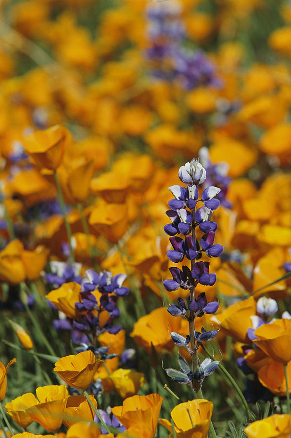 North America Photograph - Poppies And Lupine Flowers In A Santa by Marc Moritsch