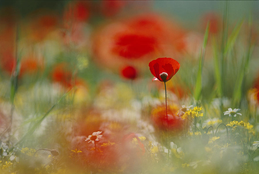 Outdoors Photograph - Poppies And Wildflowers In The Desert by Annie Griffiths