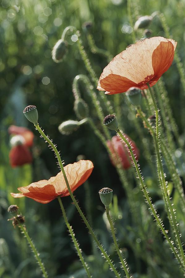 Europe Photograph - Poppies In A Field In Provence by Nicole Duplaix