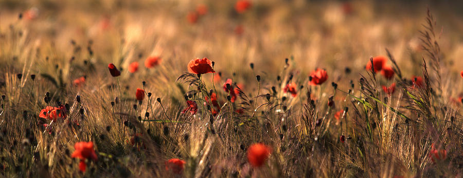 Poppies Photograph - Poppies In A Field by Ulrich Kunst And Bettina Scheidulin