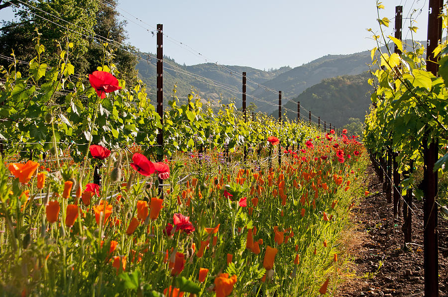 Poppy Photograph - Poppies In The Vineyard by Kent Sorensen