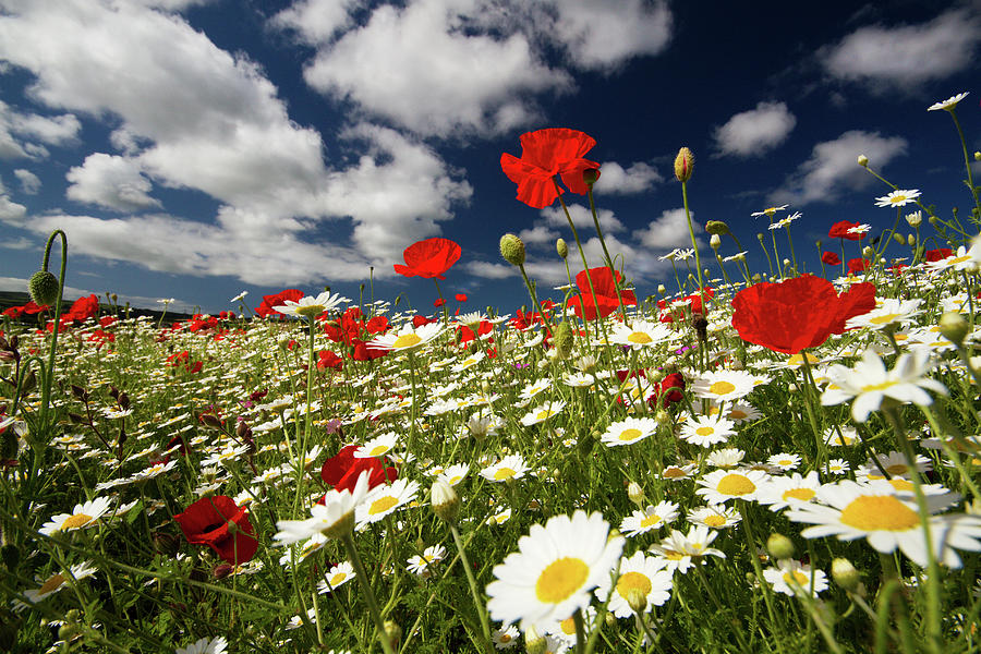 Horizontal Photograph - Poppies by Lucie Averill