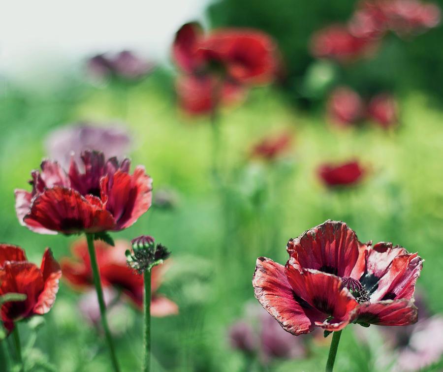 Horizontal Photograph - Poppies by Olga Tremblay