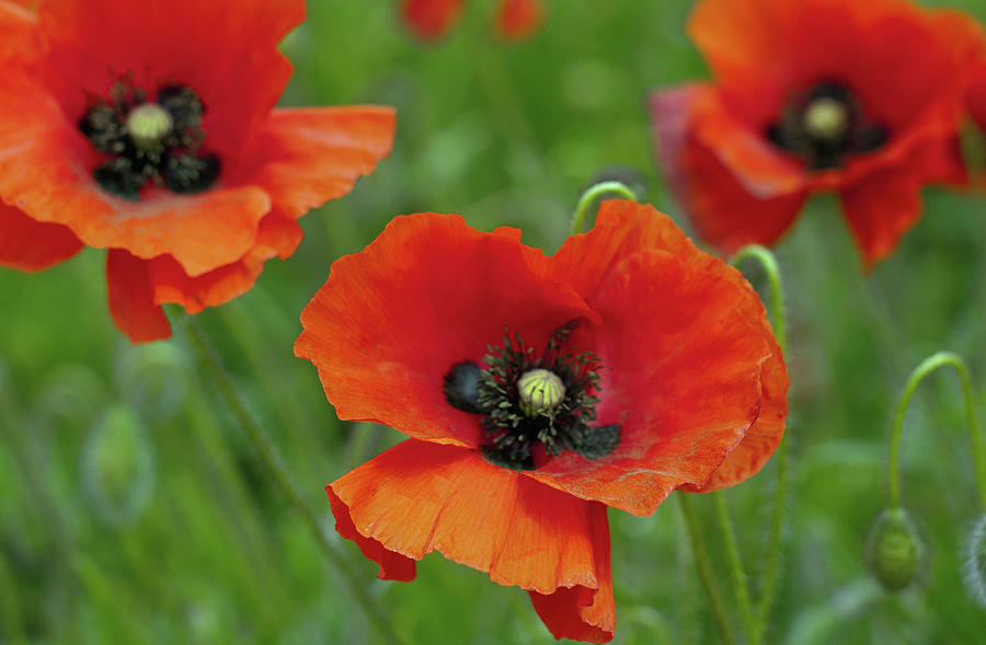 Horizontal Photograph - Poppies by Photo by Judepics