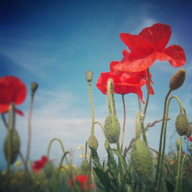Poppy Photograph - Poppies by Vicki Field