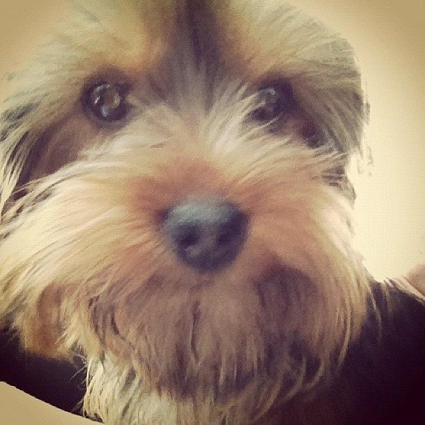 Cute Photograph - Poppy :) #yorkshireterrior #dog #puppy by Amy Reid 💜