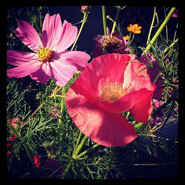 Poppy and cosmos Photograph by Gracie Noodlestein