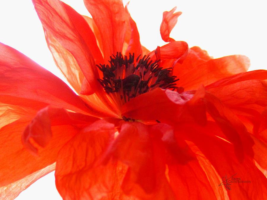 Poppy art photograph by sara carstensen