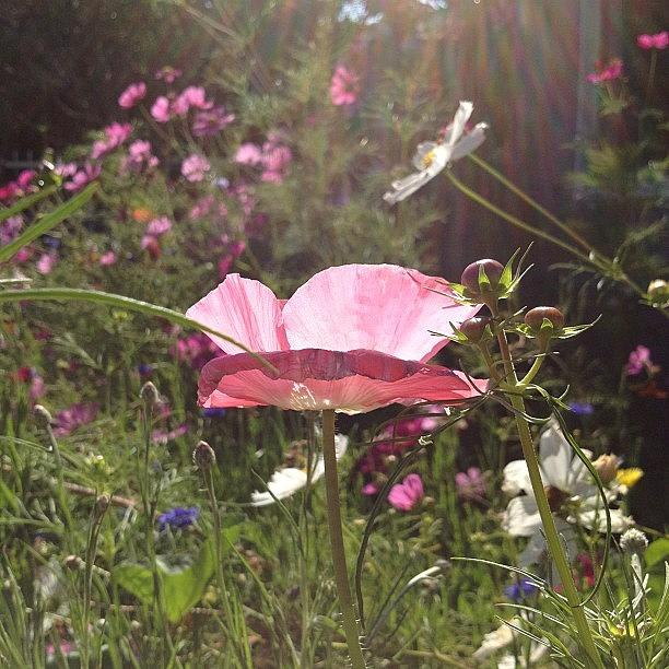 Poppy dappled with light Photograph by Gracie Noodlestein