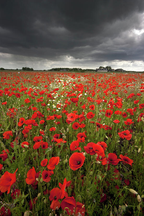 Poppy Field With Stormy Sky In Background Photograph By