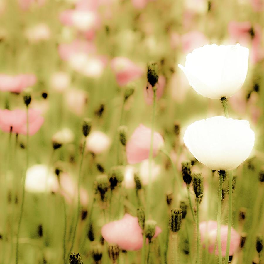 Square Photograph - Poppy Fields by Luigi Masella